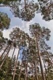 Vista de debajo del cielo y de un bosque del árbol de pino Fotos de archivo