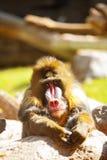 Vista de descanso do babuíno do mandril para a frente Foto de Stock