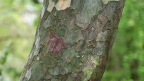 Vista de filtrado vertical del tronco de árbol conífero del pino de Bunge, 4K almacen de video