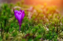 A vista de flores do açafrão da noite irradia no close-up Imagens de Stock Royalty Free