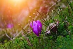 A vista de flores do açafrão da noite irradia no close-up Fotografia de Stock Royalty Free