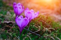 A vista de flores do açafrão da noite irradia no close-up Imagem de Stock