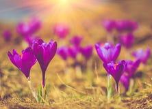 A vista de flores do açafrão da noite irradia no close-up Imagem de Stock Royalty Free