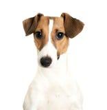 Vista de Jack Russell Terrier Foto de Stock