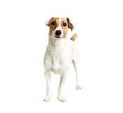 Vista de Jack Russell Terrier Imagem de Stock Royalty Free