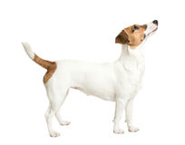 Vista de Jack Russell Terrier Fotografia de Stock Royalty Free