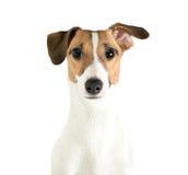 Vista de Jack Russell Terrier Imagens de Stock Royalty Free