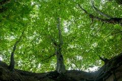 Vista de la corona verde clara del árbol de la parte inferior Foto de archivo