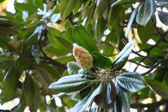 Vista de la fruta de la magnolia imagen de archivo libre de regalías