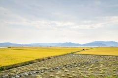 Vista de la granja de la planta de arroz Foto de archivo libre de regalías