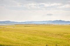 Vista de la granja de la planta de arroz Imagen de archivo