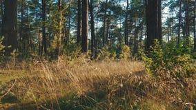 Vista de la hierba y de los árboles en el bosque durante puesta del sol metrajes