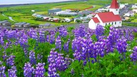 Vista de la iglesia de Reyniskirkja con el campo de flores Lupine en Vik en Islandia metrajes