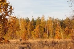Vista de la más forrest del abedul y de los árboles de pino verdes Fotografía de archivo