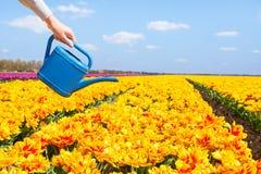 Vista de la mano que sostiene el pote del agua y tulipanes amarillos Fotos de archivo