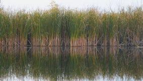 Vista de las cañas, de la juncia o del bastón del río almacen de video