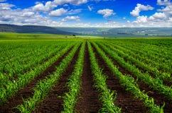 Vista de las líneas de lanzamientos jovenes del maíz en campo fotografía de archivo libre de regalías