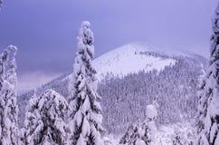 Vista de las montañas nevadas con el fondo delantero Abetos nevados en el primero plano Fotografía de archivo
