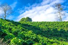 Vista de las plantas del café Imágenes de archivo libres de regalías