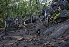 Vista de las raíces de árboles y de piedras en el bosque Imagen de archivo