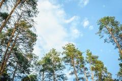 Vista de los árboles de pino de debajo Foto de archivo