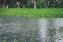 Vista de los campos y de los pantanos del arroz en Indonesia imagen de archivo