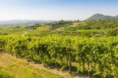 Vista de los viñedos de Prosecco durante verano Imagen de archivo