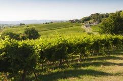 Vista de los viñedos de Prosecco durante verano Fotografía de archivo libre de regalías