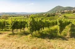 Vista de los viñedos de Prosecco durante verano Foto de archivo libre de regalías