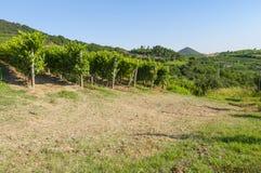 Vista de los viñedos de Prosecco durante verano Imágenes de archivo libres de regalías