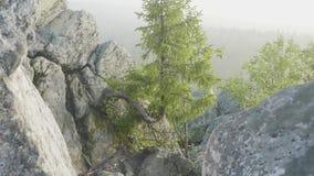 A vista de pinheiros enormes em uma floresta com musgo cobriu pedregulhos Floresta da paisagem da região selvagem com pinheiros e filme