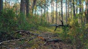 Vista de ramas y de árboles en el bosque durante puesta del sol almacen de metraje de vídeo