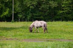 Vista de Tarpan, caballos salvajes Fotos de archivo