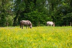 Vista de Tarpan, cavalos selvagens Imagens de Stock