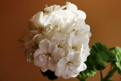 Vista de um grande ramalhete das flores brancas fotografia de stock