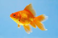 Vista de um peixe vermelho pequeno do aquarian Imagens de Stock Royalty Free