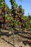 Vista de um vinhedo Foto de Stock Royalty Free