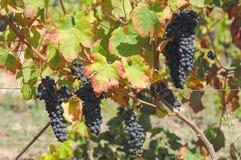Vista de um vinyard Imagens de Stock