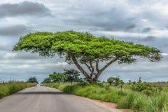 Vista de uma árvore dos tortilis da acácia na borda da estrada, paisagem tropical foto de stock royalty free