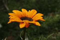 Vista de uma flor amarela Fundo fora de foco Fotografia de Stock