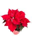 Vista de uma flor vermelha da poinsétia Foto de Stock Royalty Free
