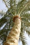 vista de uma palmeira da tâmara Fotos de Stock Royalty Free