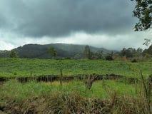 Vista de uma plantação do Chayote em um dia nebuloso Fotografia de Stock Royalty Free