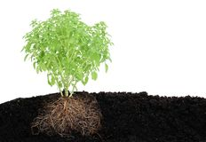 Vista de uma planta pequena da manjericão no solo Imagens de Stock