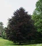 Vista de un árbol rojo real del follaje grande de alta resolución en parque en Kassel, Alemania Fotografía de archivo libre de regalías