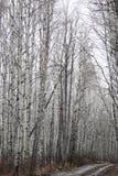 Vista de un bosque del abedul en primavera Foto de archivo