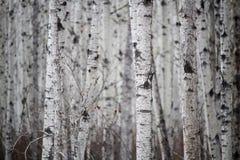 Vista de un bosque sin fin del abedul en primavera Foto de archivo libre de regalías