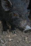 Vista de un cerdo Imagen de archivo libre de regalías