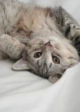 Vista de un pequeño gatito gris Imagen de archivo