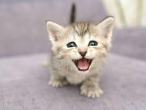 Vista de un pequeño kittenwith gris la boca abierta Fotos de archivo libres de regalías